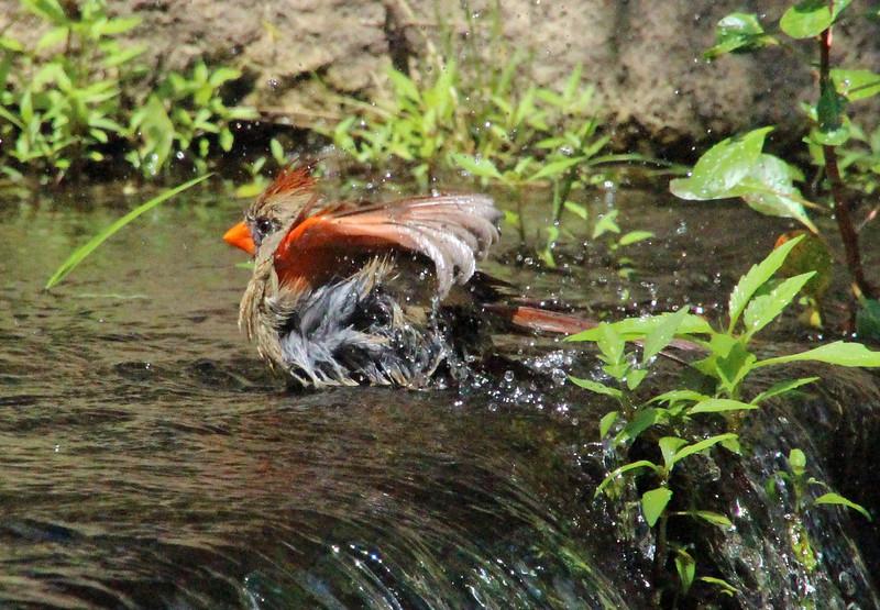 Cardinal bathing 5