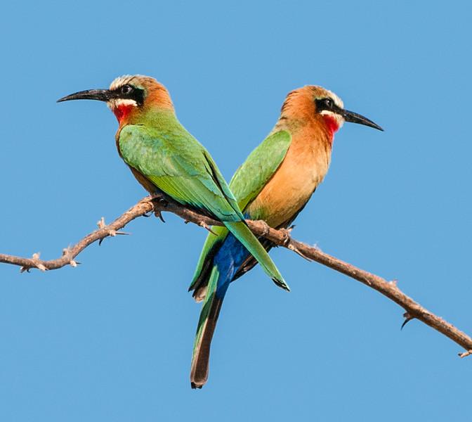 Birds_Bee Eater-1.jpg