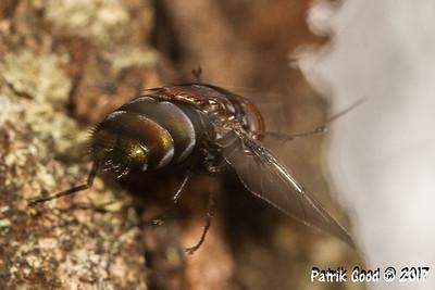 White-bellied Rutilia Fly