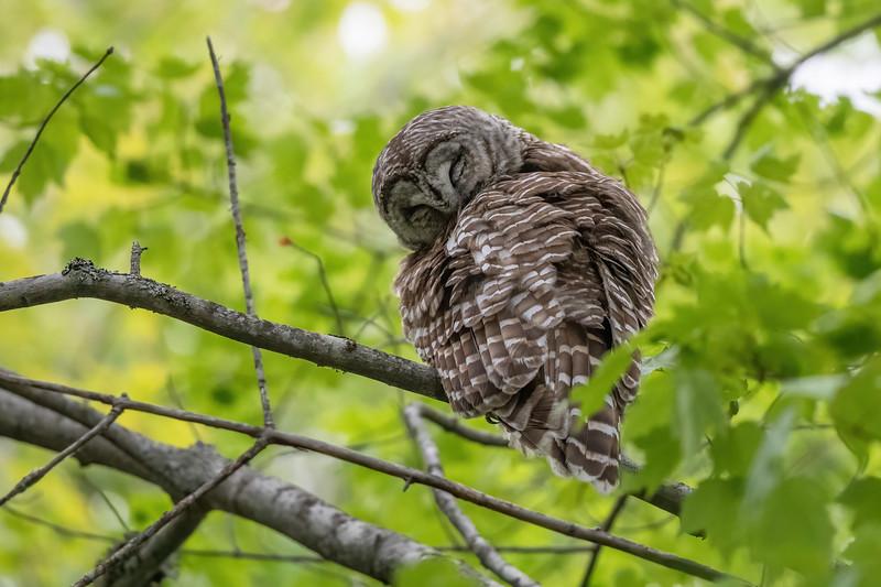 #1622 Barred Owl