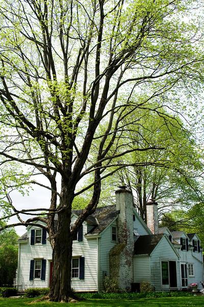 Maple in Spring 1.jpg