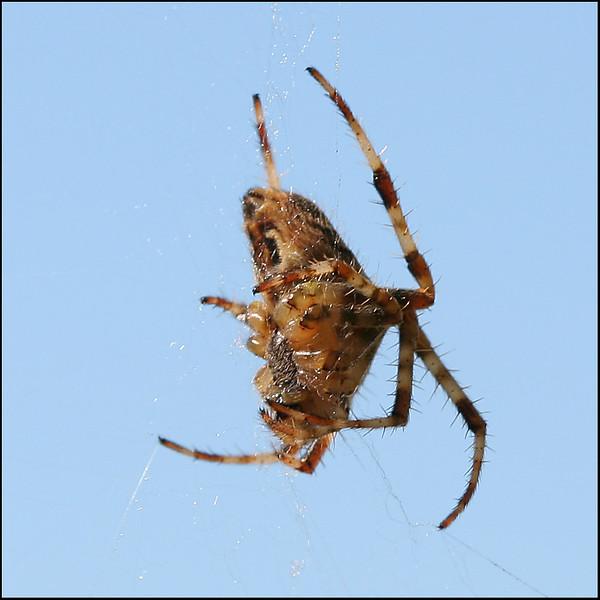 1662 Spider.jpg