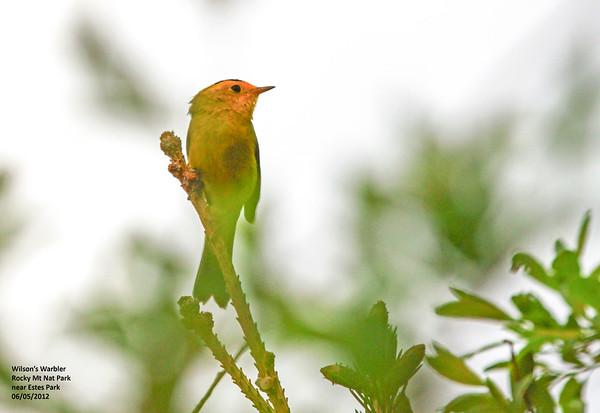 Birds of Rocky Mountain National Park, Colorado, June 2012