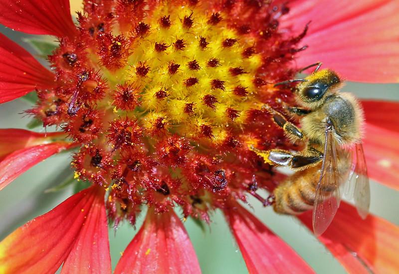 Honey bee 12