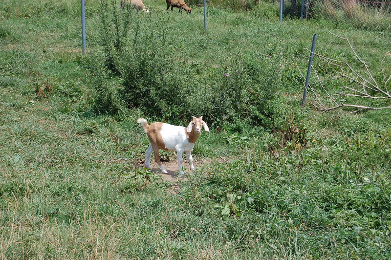 Getting Dennis' Goat