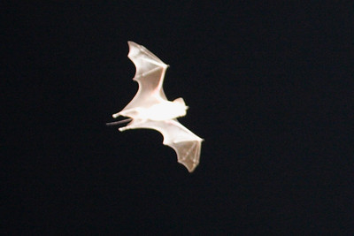 Muscat Mouse-tailed Bat