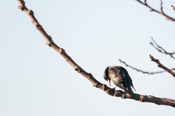 Estorninho-malhado (Sturnus vulgaris)