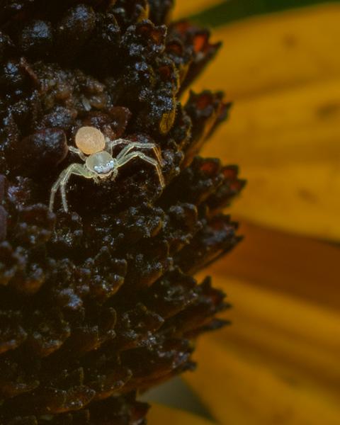 Crab Spider - 8-17-18.jpg