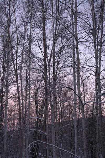 Tall Trees, Fresh Snow