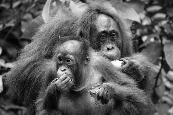 Oranguatans in Black & White