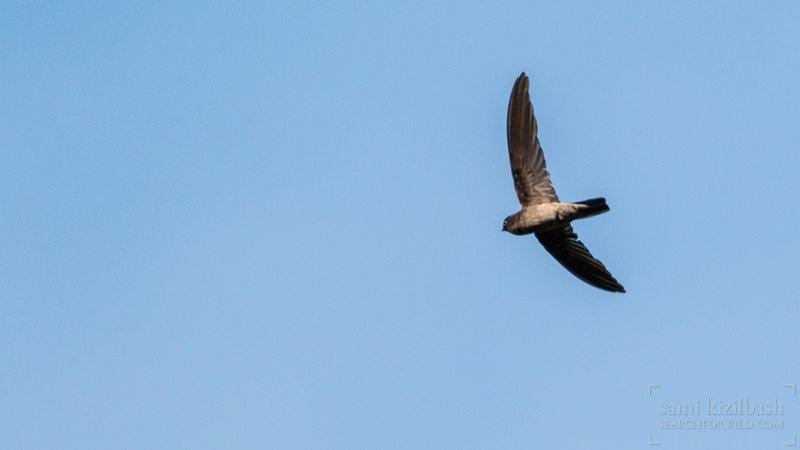 Black-nest Swiftlet.jpg