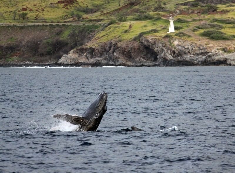 HUMPBACK WHALES OF MAUI, HI