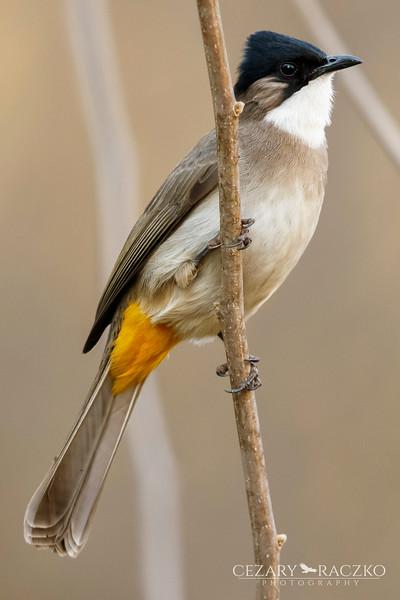 Brown-breasted Bulbul (Pycnonotus xanthorrhous)