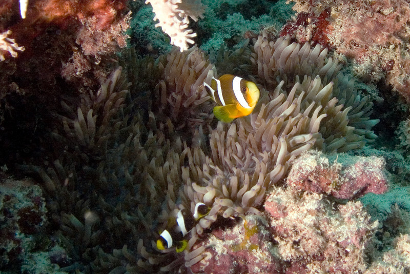 Three Band Anenome Fish 1.jpg