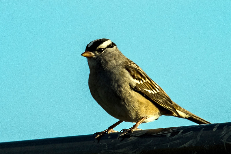 DSC_1649 White Crowned Sparrow PS- LL NEF crpd.jpg