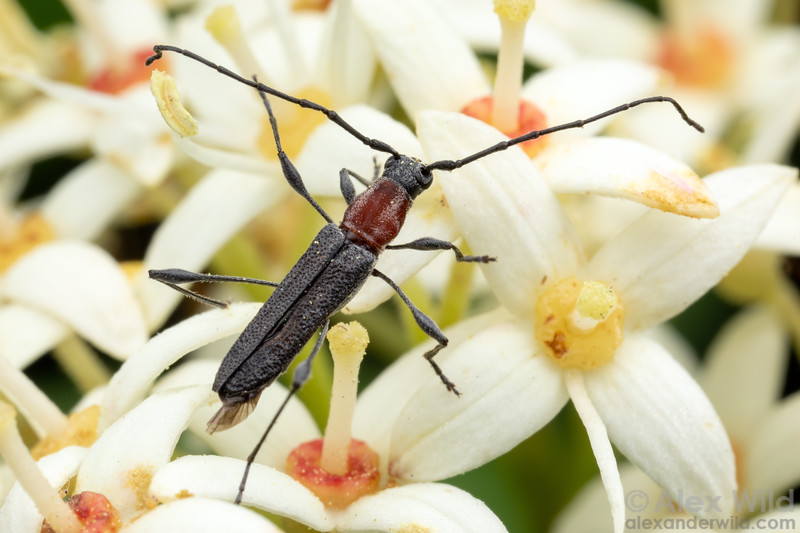 Rhopalophora longipes