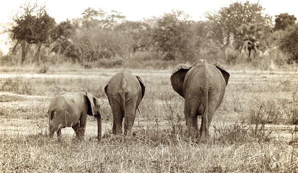 The Elephants of Mikumi National Park