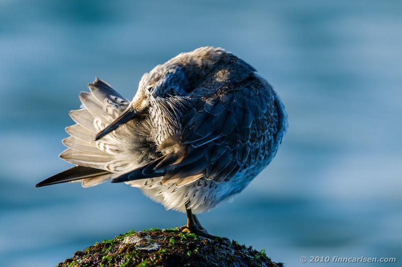 Sortgrå ryle - Calidris maritima - Purple Sandpiper