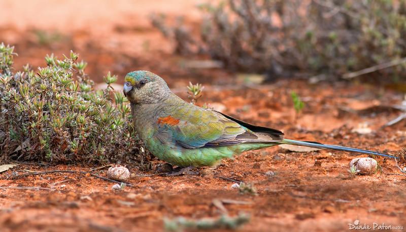 Mulga Parrot - Female