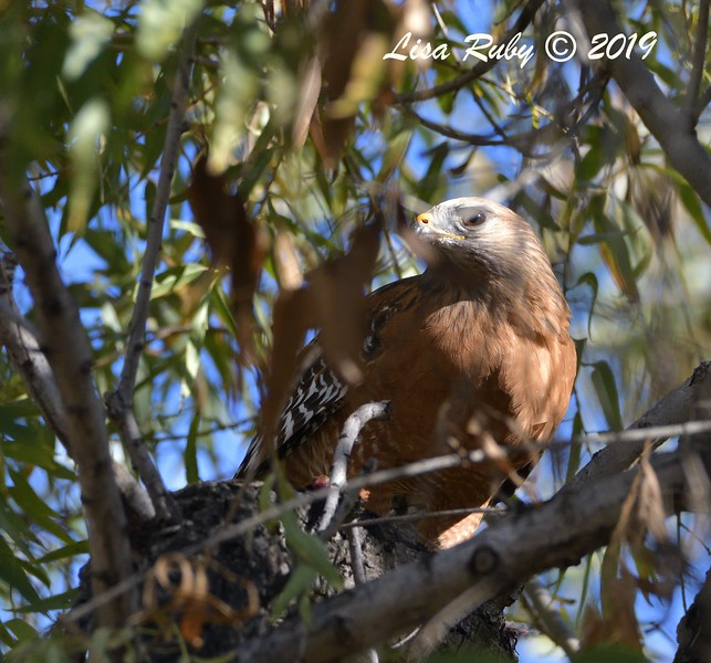 Red-shouldered Hawk  - 12/01/2019 - Lindo Lake