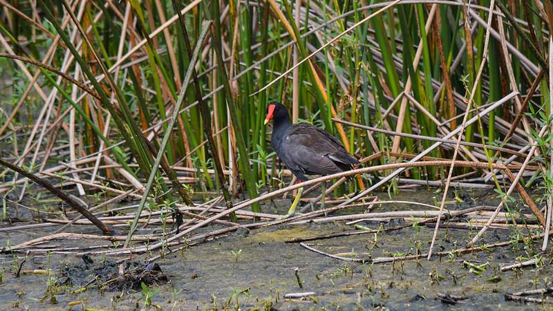 Gallinule in reeds