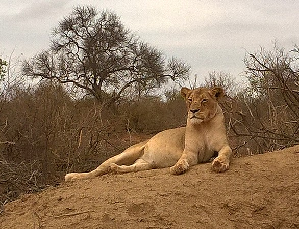 Saw several animal interactions. Here is a lion watching over her partially-eaten prey which is nearby.