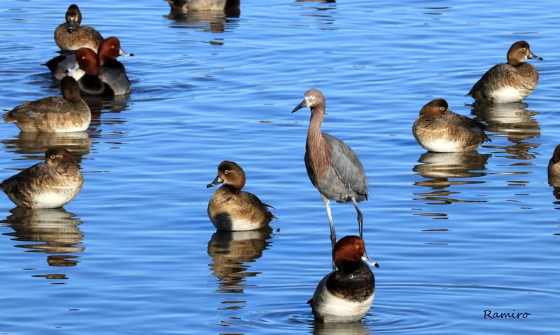 Ducks IMG_4361.jpg
