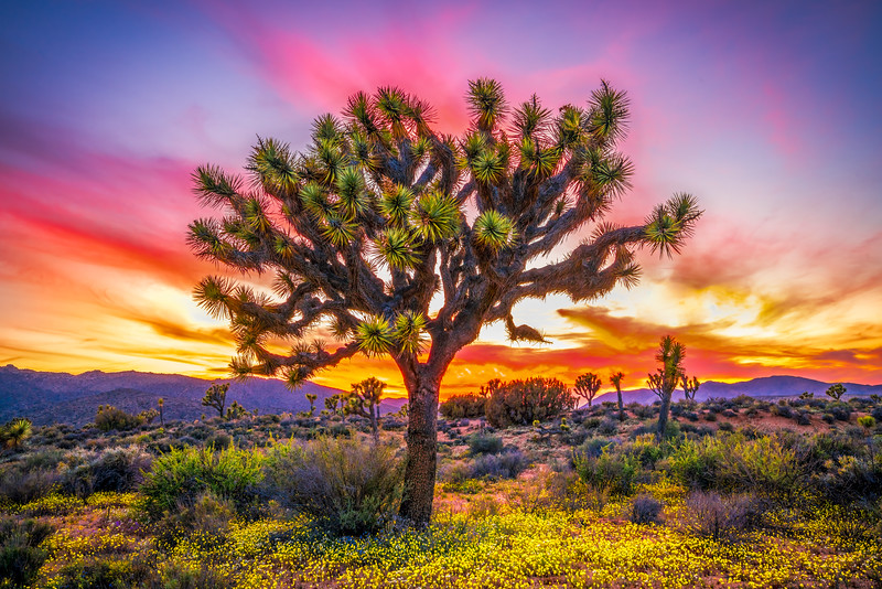 Joshua Tree Spring Symphony #26: Joshua Tree National Park Wildflowers Superbloom Sunset Fine Art Landscape Nature Photography  Dr. Elliot McGucken Prints & Luxury Wall Art!