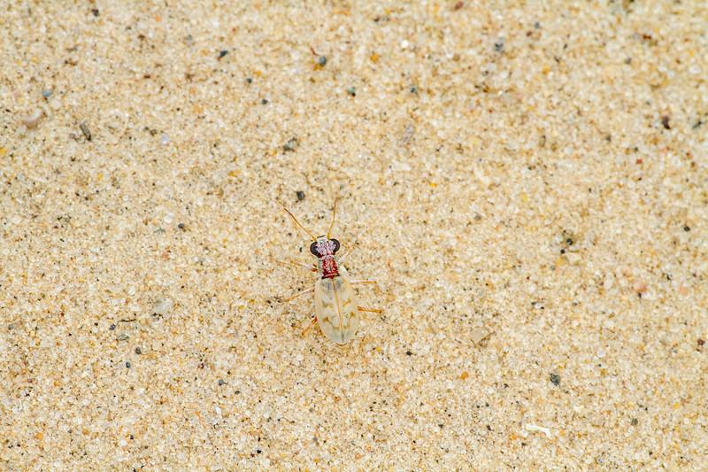Ellipsoptera lepida Ghost Tiger Beetle Sauk Prairie Recreation Area WI  IMG_0406.jpg