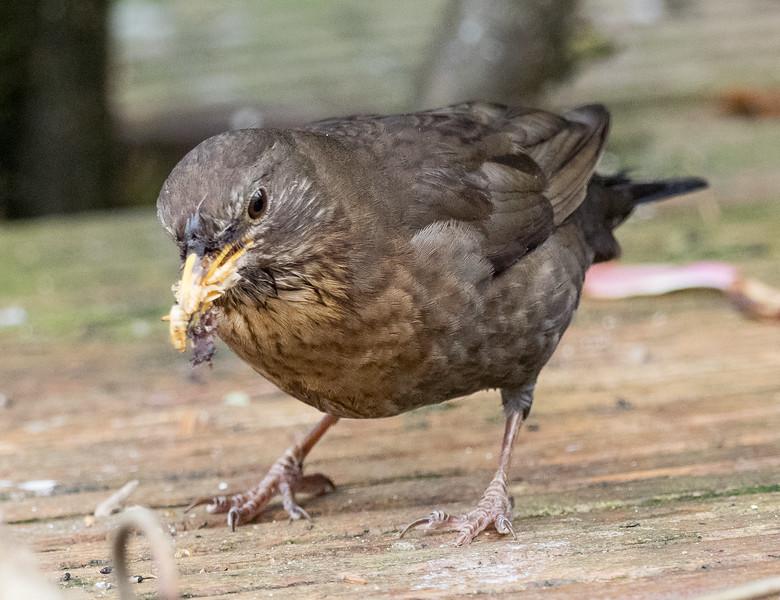 Female Blackbird gathering food