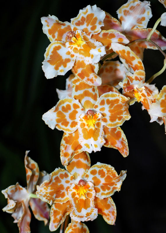 Orquidea 7.jpg