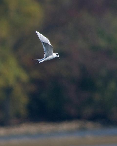 Forster's Tern  Dyke Marsh