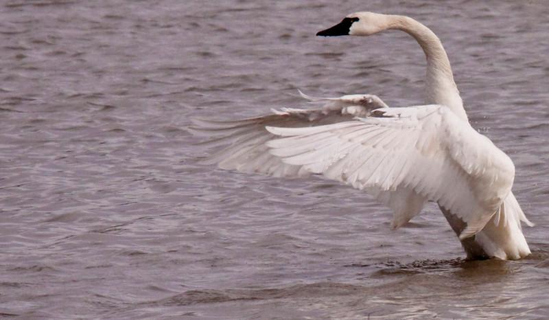 2011 swan migration aylmer (25 of 51).jpg