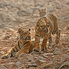 Two tiger cubs in a dry river bed Ranthambhore tiger reserve, India