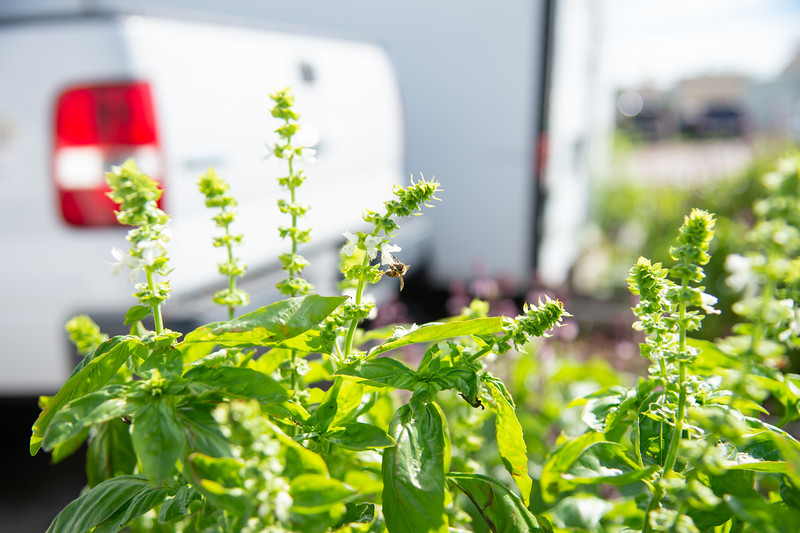 Bees play an important role of the success at the Islander Green Garden.