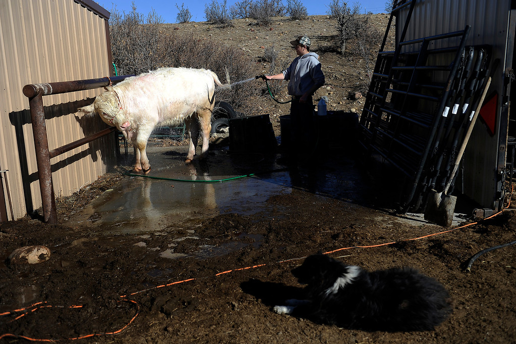 . CASTLE ROCK, CO - JANUARY 17: Destry Banister, 16, hoses down Lacy, a short horn cow, while helping Rochelle Quinn prep the bovine for show at her home in Castle Rock, Colorado on January 17, 2014. Quinn will be showing her animals during the National Western Stock Show this weekend in Denver. (Photo by Seth McConnell/The Denver Post)