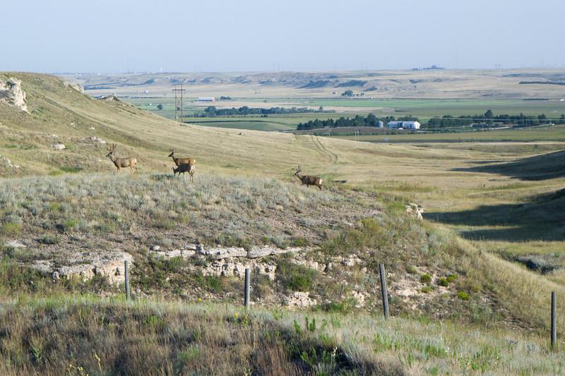 Mule Deer Western Nebraska