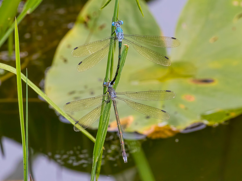 Amber-winged Spreadwing (Lestes eurinus) tandem pair, Ten Acre Pond, Centre County, PA
