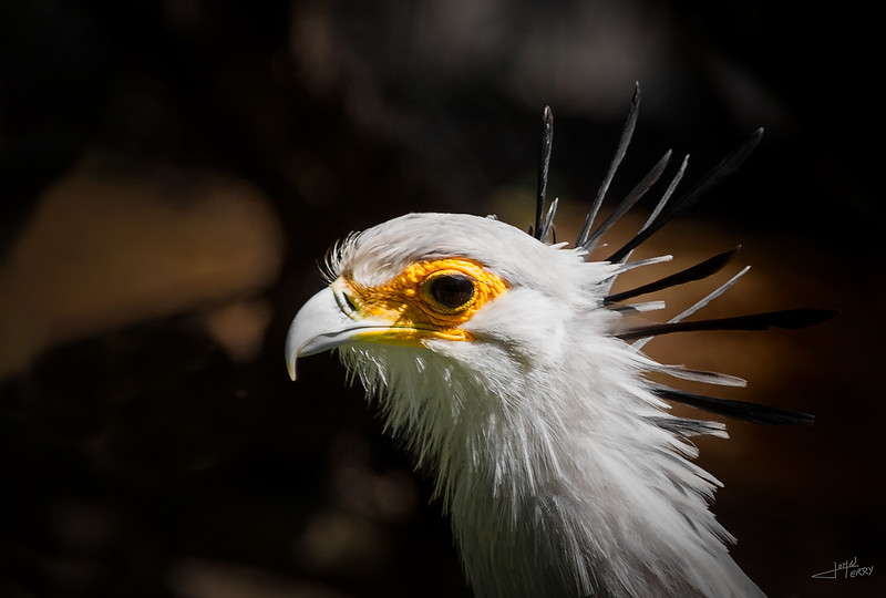 Secretarybird Portrait-Edit.jpg