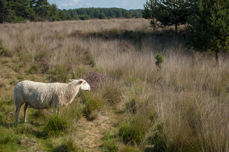 02 september 2017 Heidetocht 'De Wandelaar' te Achel & Gastel 10.jpg