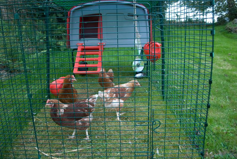 Chickens-3