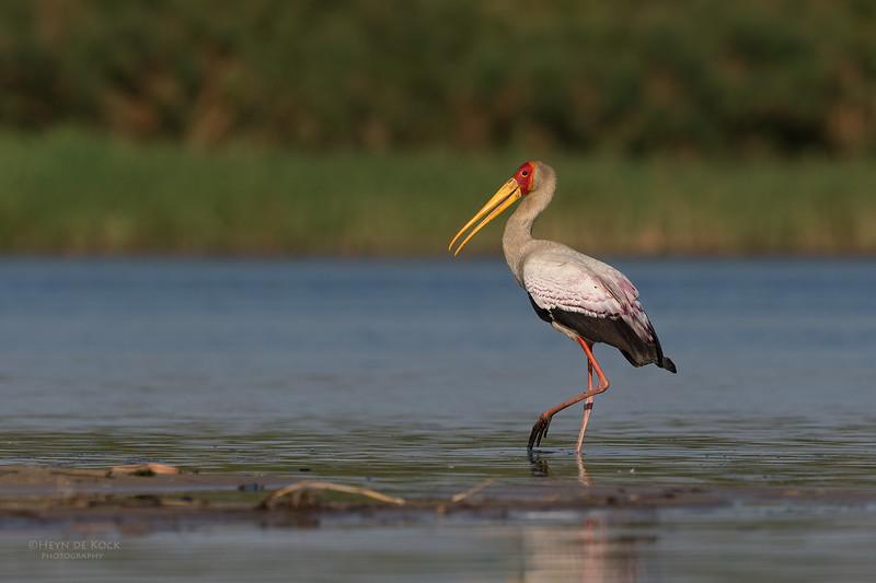 Yellow-billed Stork, Chobe River, NAM, Oct 2016-9.jpg