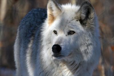 Lakota Wolves - Feb 2010