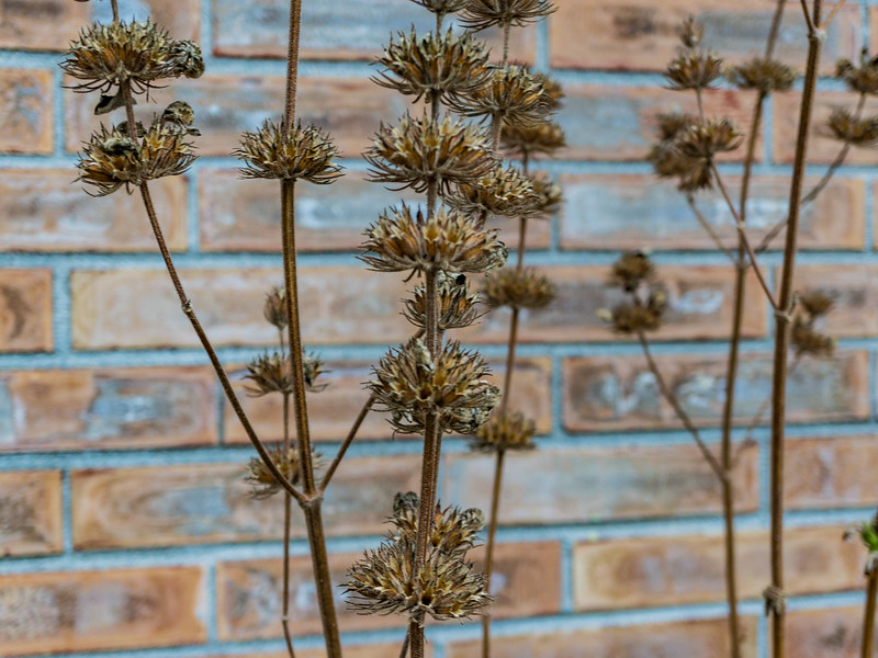 Phlomis seed heads