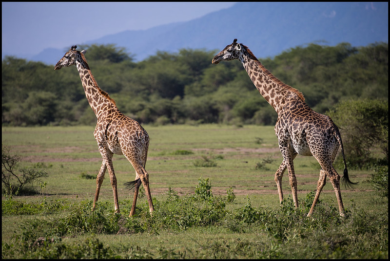 Giraffe, Lake Manyara NP