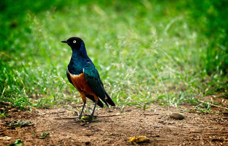 Superbe Starling