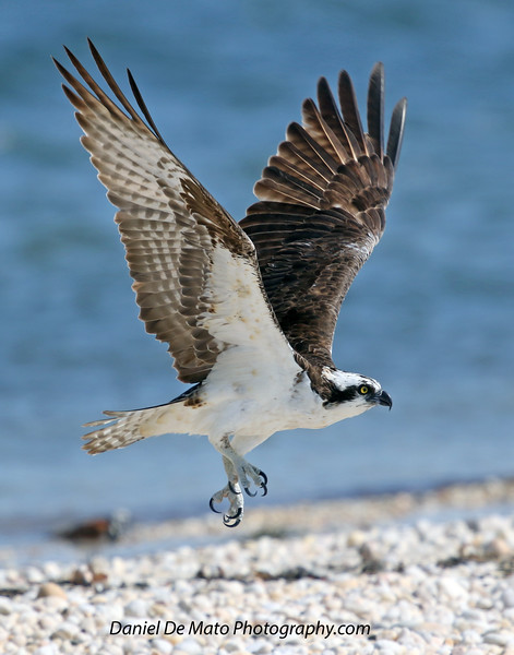 Ospreys on Nassau Point 8-15-18