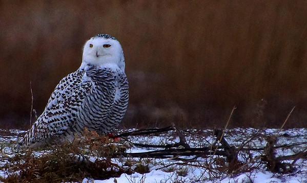 Snowy Owl    Dec. 2013