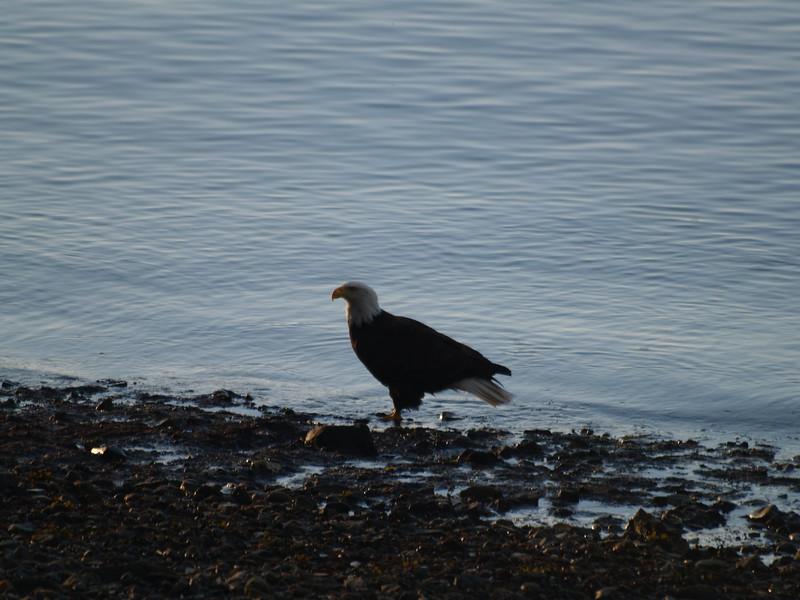 Eagle on the beach on Fritz Cove