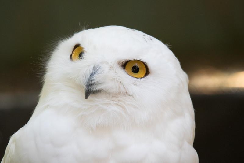 Snowy Owl Vermont 2019-3.jpg